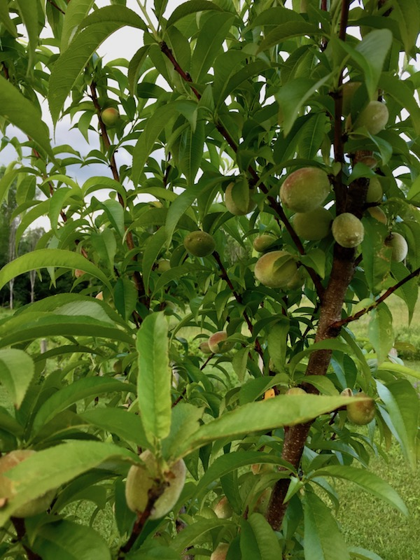 Holistic Orcharding: Young peaches in June (Source: Geo Davis)