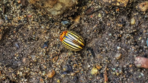 Colorado Potato Beetle (Source: Geo Davis)