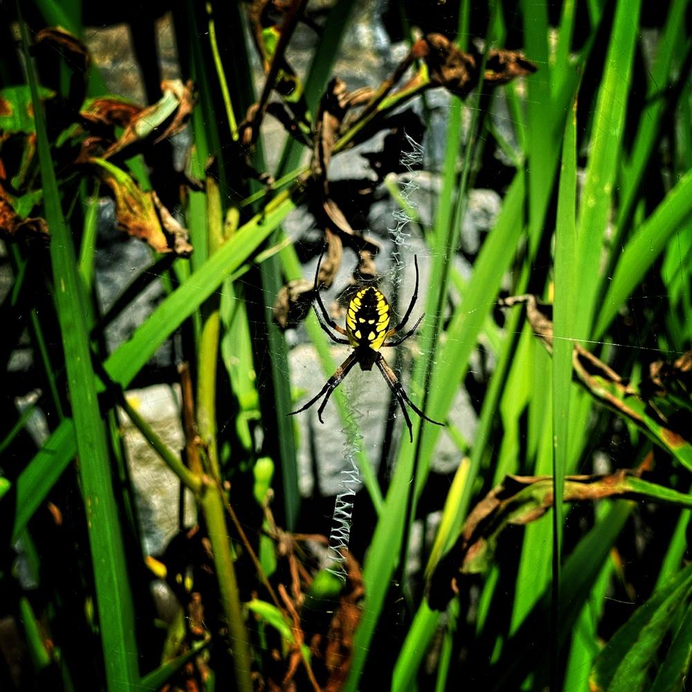Yellow Garden Spider (Source: Geo Davis)