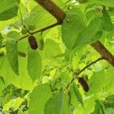 Mulberry Meditation (Source: Geo Davis)
