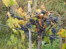 Auch in der Wachau gibt es sehr guten Rotwein