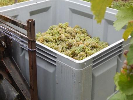 In großen Kisten werden die Trauben gesammelt