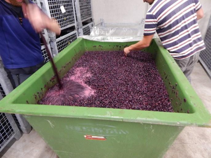 Der Rotwein lagert die ersten Tage noch zusammen mit den Schalen um die Farbe anzunehmen