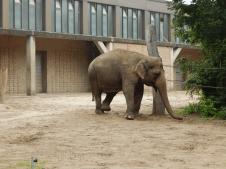 Zoo Berlin - Indischer Elefant