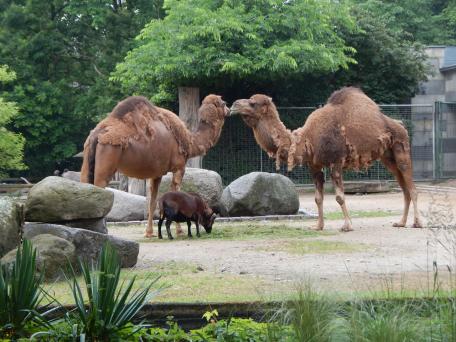 Zoo Berlin - Dromedare
