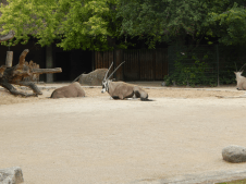 Zoo Berlin - Gabelbock