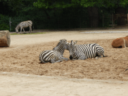 Zoo Berlin - Zebras