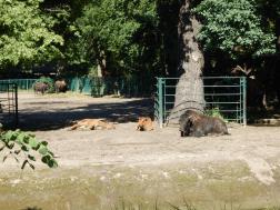 Tierpark Berlin - Bison