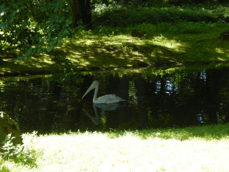 Tierpark Berlin - Pelikan