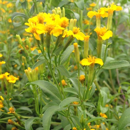 Farm Focus: Mexican Mint Marigold