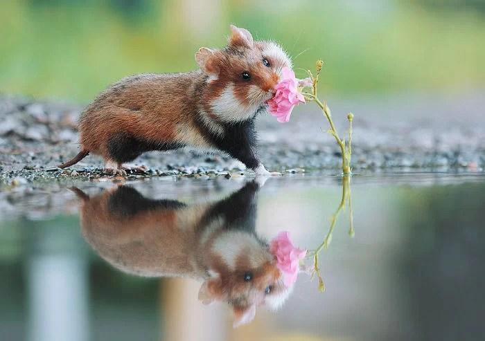 Hamsters Selvagens - Overdose de fofura