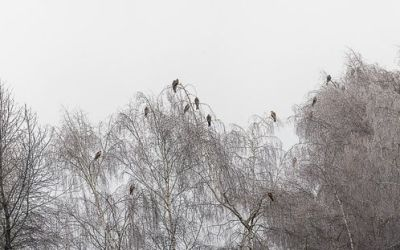 Internationale Rotmilanzählung: Winterschlafplätze!