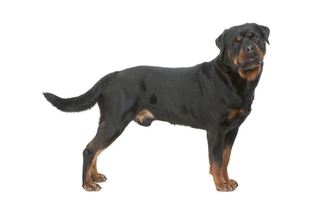 Rottweiler Deckrüde im Profil