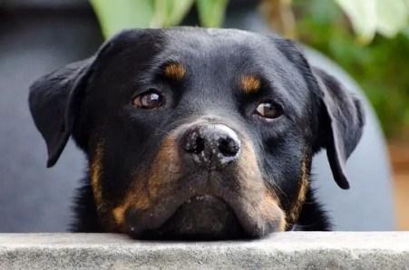 Rottweiler - Strongest Dog Bite