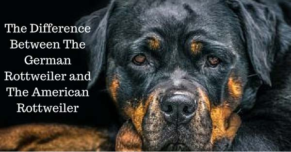 Different Kinds Of Rottweilers American Rottweiler Vs German