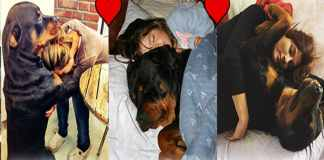 rottweile love