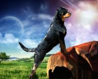 Rottweiler_Ellie_Guard_39871.jpg