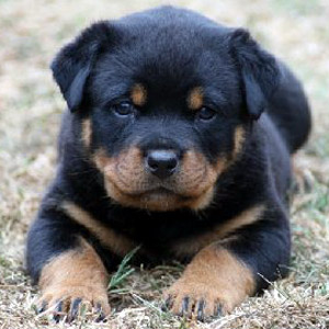 Cute German Rottweiler Puppy is ready to play