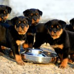 German Rottweiler Puppies Waiting for Food