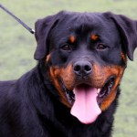 Knowing Rottweiler Temperament Leads To Successful Training