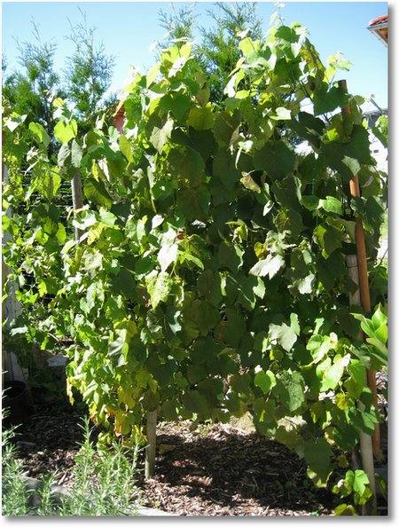 wein im garten im august. Black Bedroom Furniture Sets. Home Design Ideas