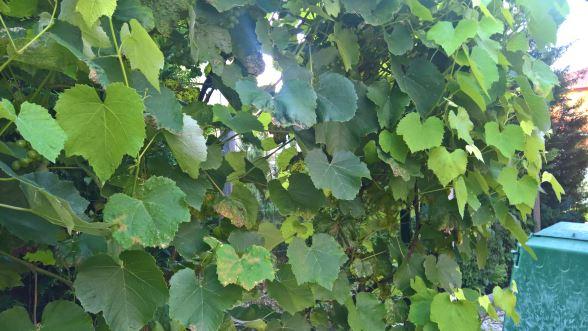 Wein-im-Garten_Aug.2016_001