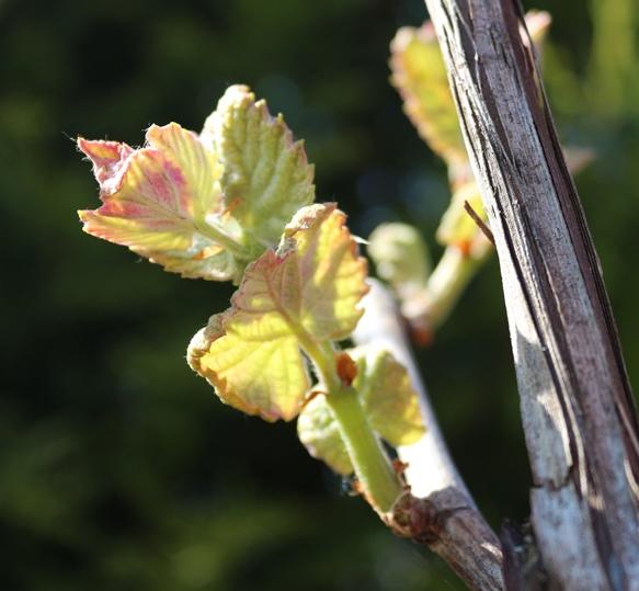 Wein im Garten Mai 2016