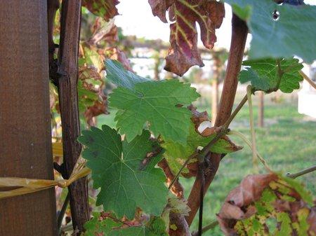 Cabernet Sauvignon Rotwein1