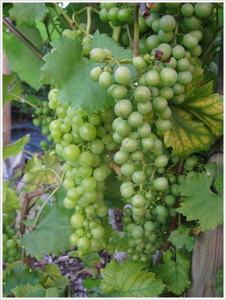 Weinrebe Wein-im-Garten2