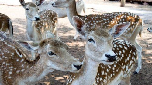 Grand Canyon Deer Farm near Williams marks 50th year this week