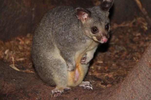 A possum in Fitzroy Park, Melbourne nature tour