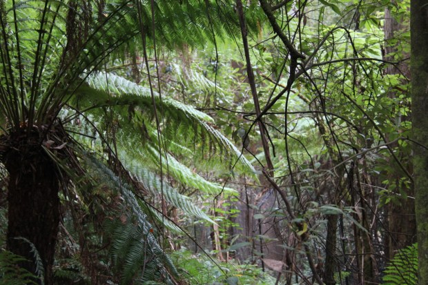 Rainforest in the Dandenong Ranges