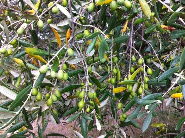 An Australian olive tree