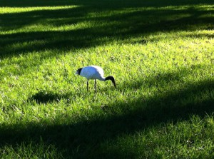 An ibis in the Royal Botanical Gardens, Sydney