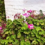 Flowers on Australia's oldest farm, Churchill Island
