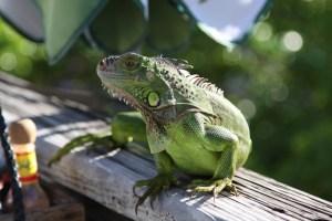 An iguana, Key West