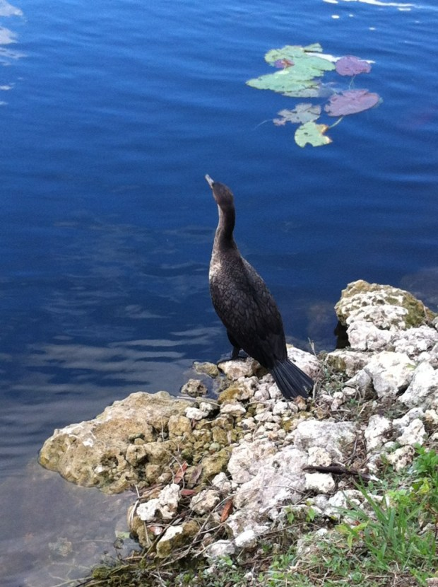 A water bird, Everglades National Park