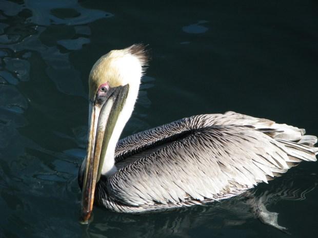 A pelican, Harbor Walk, Key West