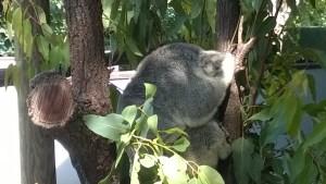 A koala, Port Douglas Wildlife Habitat
