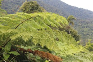 Tropical ferns, Alexandra Lookout