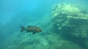 Agincourt Reef fish