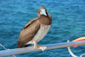 Bird at Agincourt Reef
