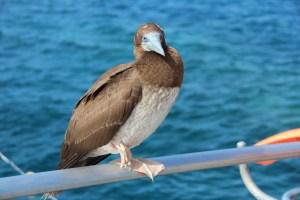 Bird at Agincourt Reef