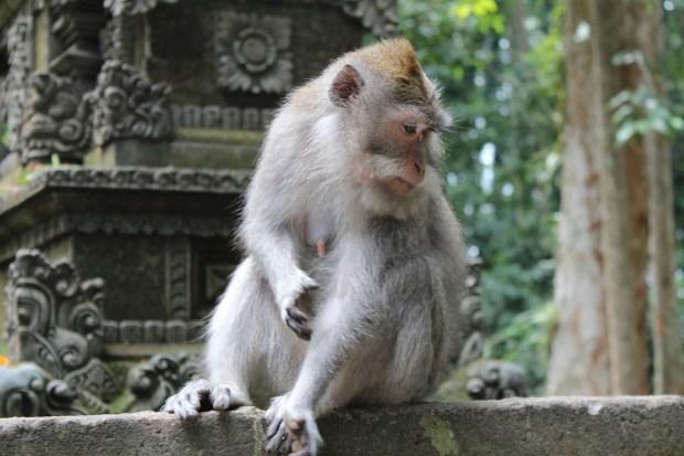 Monkey in Sangeh Monkey Forest, Bali day trip by car