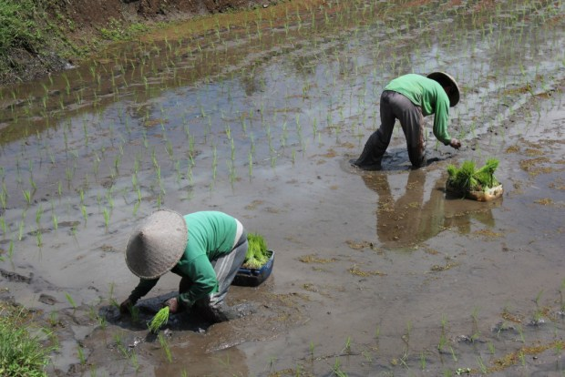 Bali farming: planting rice