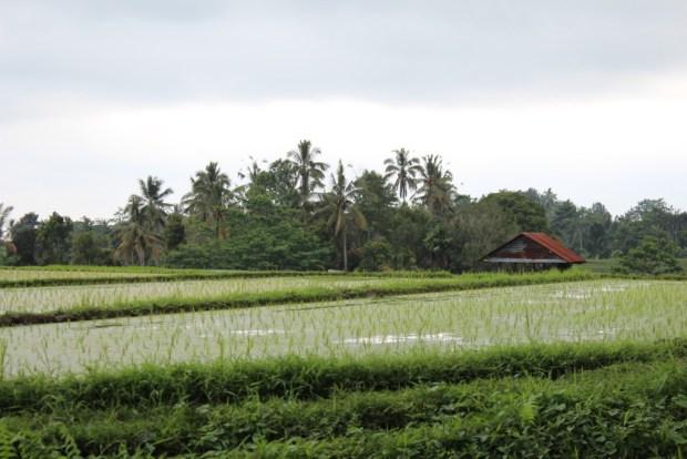 Rice fields, Day Trip to West Bali