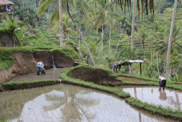Tegallalang rice planting