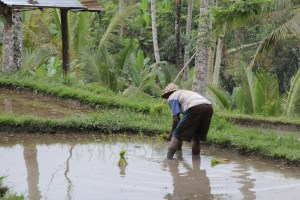 Tegallalang rice terrace worker