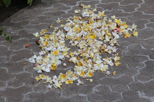 Yellow frangipani flowers