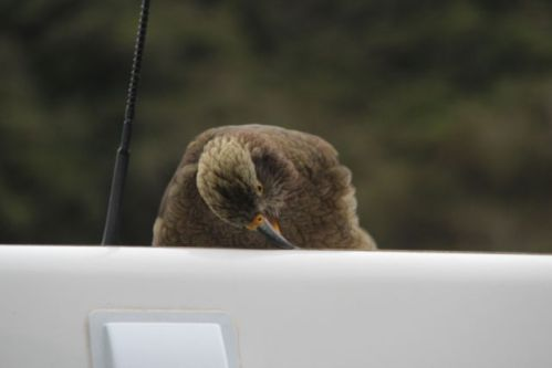 Christchurch to Greymouth kea bird